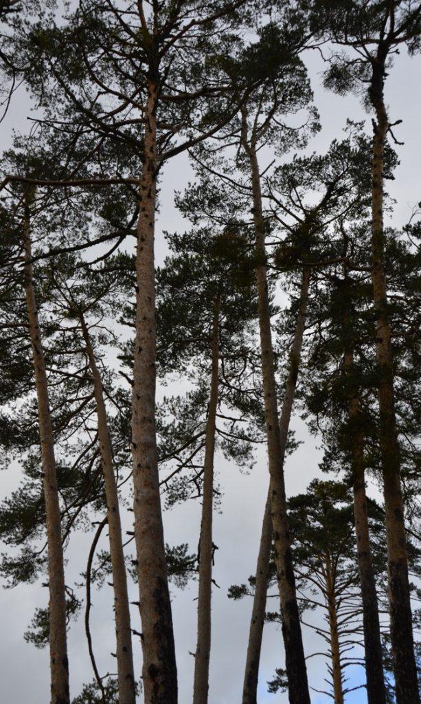 pinos albares