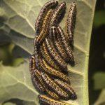 larvas-1