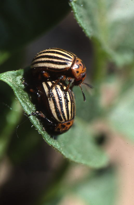 leptinotarsa-acoplados