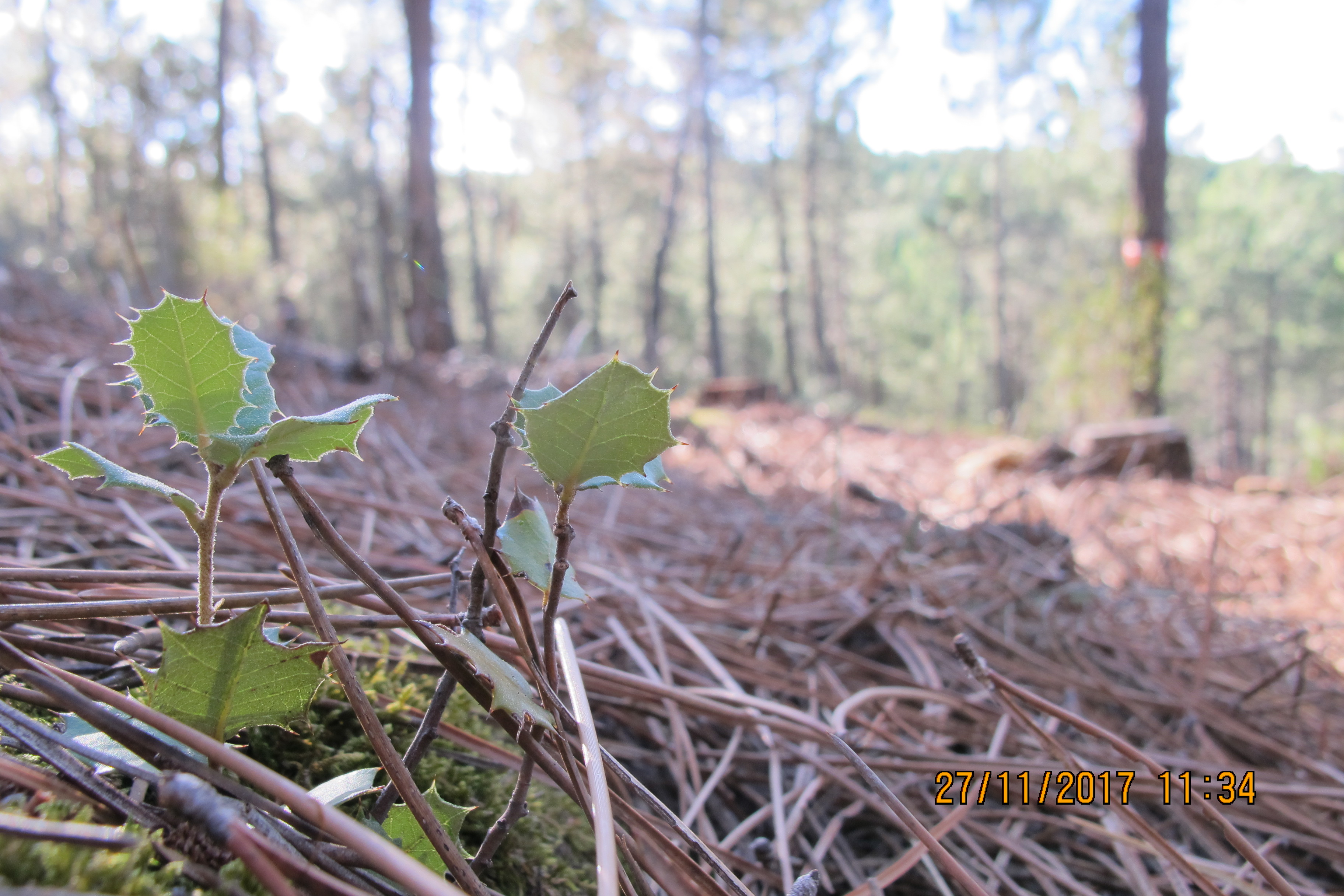 Regeneración de encinas en la repoblación de pino pinaster