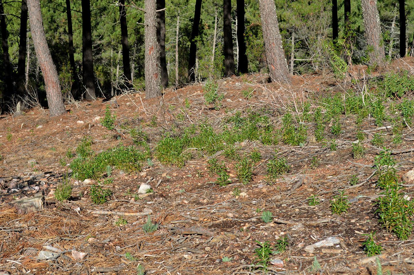 Brotación de Cistus y regeneración de Pinus pinaster en bosquetes