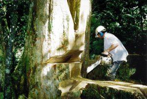 Motoserrista apeando un árbol después de eliminar el costillaje