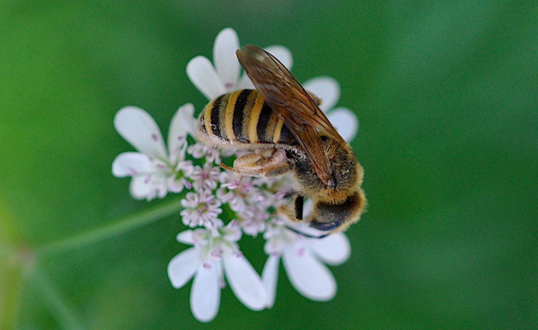 Halictus sp. Halictidae