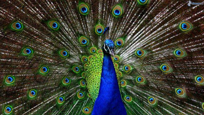 foto de un pavo real