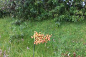 flor de la totora